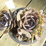 묵은 긴잎핑키(자연군생목대)-126