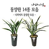 동양란 모음/난/동양란/서양란/공기정화식물/꽃/풍란/부귀란/야생란/화분/나라아트 