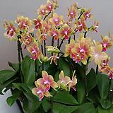 호접란.비너스(.아주좋은향).다시입고.(네추럴노란색).고급종.희귀종.잘나오지않는품종.꽃잎이 두껍다.2개. Echeveria Venus