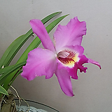카틀레야(레알리아).(묵은묘).목이긴형.꽃이 화려해서 예쁩니다.꽃이피었던상품. 