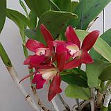 카틀레야 오키나와(고급스런 진한황금색).은은한향기(좋은향).묵은묘.꽃대있었던상품. 