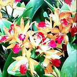 카틀레야 (연황금주황 빨강색립프).은은한향기(좋은향).꽃대있었던상품. 