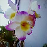 덴드로비움(노랑.핑크복카시).노빌계.석곡.꽃피었던중묘.화려한색.은은한향..인기상품. 
