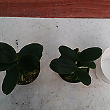 풍란.대엽.쌍2개. 