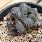 OM 옵튜샤|Haworthia cymbiformis var. obtusa