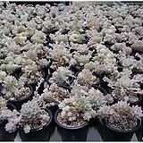 리틀장미금(랜덤발송) Echeveria prolifica