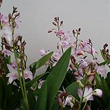 긴기아난.연핑크(좋은향).꽃송이가 큰편.꽃피었던상품.상태굿.여성스러운색. 