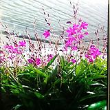 긴기아난.진핑크(아주좋은향).꽃송이가 큰편.꽃피었던 상품.여성스러운색. 