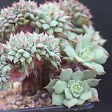 라밀레이트철화-11-1161|Echeveria Lamillette  f cristata