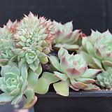라밀레이트철화-11-1162|Echeveria Lamillette  f cristata