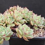 라밀레이트철화-11-1164|Echeveria Lamillette  f cristata