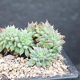 라밀레이트철화-11-1197|Echeveria Lamillette  f cristata