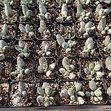유럽천금장 10포트 C.Adromischus cooperi
