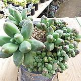 묵은 천대전송철화(군생목대/붉게물듬)-187 Pachyphytum compactum