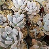 홍미인(중)|Pachyphytum ovefeum cv. momobijin