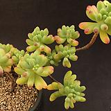 을녀심(1128-4)|sedum pachyphyllum