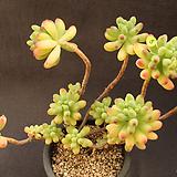 을녀심(1128-5)|sedum pachyphyllum