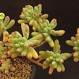 을녀심(1128-27)|sedum pachyphyllum