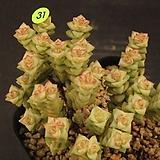 희성금(1128-31)|Crassula Rupestris variegata