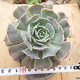 긴잎핑키목대-118 Echeveria cv Pinky