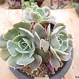 긴잎핑키목대-59 Echeveria cv Pinky