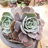 긴잎핑키목대-106 Echeveria cv Pinky