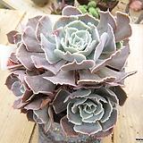 묵은 긴잎핑키(자연군생목대)-393 Echeveria cv Pinky