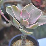 데코라금(W102)|Echeveria gibbiflora Decora