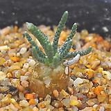 알스토니(W115)|Avonia quinaria ssp Alstonii