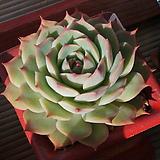 핑크팁스,목대|Echeveria Pink Tips