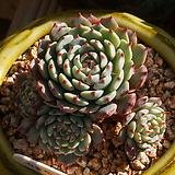 슈퍼미니마,자연목대|Echeveria Minima