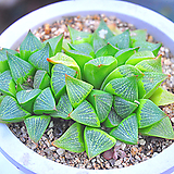 하월시아(W139)|haworthia