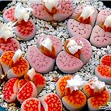 카라스몬타나 믹스 씨앗 (30립) /리톱스씨앗|Lithops