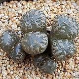 C. pellucidum 펠루시덤 (일본수입.분채배송)|Echeveria Lucy