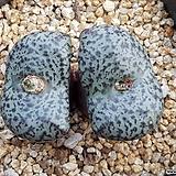 C.obcordellum ceresianum 세레시아눔 (일본수입.분채배송)|