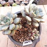 묵은 홍포도(군생목대/붉게물듬)-275 Graptoveria Ametum