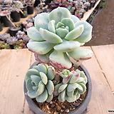 묵은 바닐라비스(군생목대/붉게물듬)-24 Sedeveria Pudgy