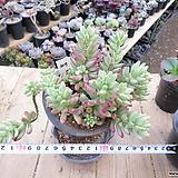 오로라(합식/진분홍물듬)-307 Sedum rubrotinctum cv.Aurora