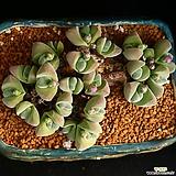오래묵은 기배윰 알붐 1|Gibbaeum cryptopodium