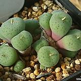 코노피튬 약19두|Conophytum