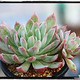 블랫블루아나군생(자연)|Echeveria bradburiana
