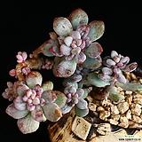 묵은둥이 아모에나금 자연군생 1|Echeveria amoena