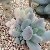 홍미인금12118|Pachyphytum ovefeum cv. momobijin