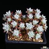 오래묵은 화이트그리니 26두 4|Dudleya White gnoma(White greenii / White sprite)