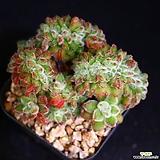 묵은둥이 금사황철화 1|Echeveria setosa Hybrid