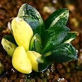타이거피그마에아금 1|Haworthia pygmaea