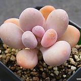 문스톤 60|Pachyphytum Oviferum Moon Stone