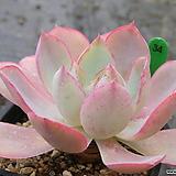 화이트로즈 34|Echeveria white rose