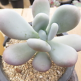 달마미인-330 Pachyphytum oviferum