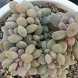 익스페트리아|Cremneria Expatriata f.cristata